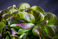 Organic Red Oakleaf lettuce Royalty Free Stock Photos