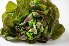 Organic Red Oakleaf lettuce Royalty Free Stock Image