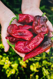 Organic Red Peppers Royalty Free Stock Image