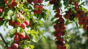 Organic red  plums on a branch. Pic of organic red and blue plums on a branch Stock Images