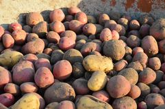 Organic Red Potatoes Stock Images