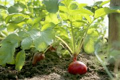 Organic red radish growing on soil in greenhouse. Fresh radish from own garden Royalty Free Stock Photography