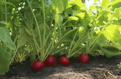 Organic red radish growing on soil in greenhouse. Fresh radish from own garden Stock Images