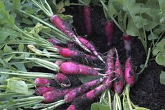 Organic red radish harvest in  vegetable garden Royalty Free Stock Image