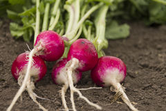 Organic Red Radishes. Fresh Radishes on ground. Red Stock Photo