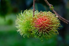 Organic rambutan in rayong. The organic red rambutan in rayong is very good taste and good quality Royalty Free Stock Image