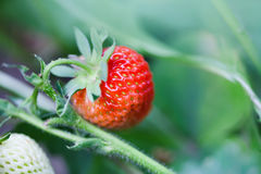 Organic red strawberry growing field. beautiful garden berry macro view. shallow depth of field, soft selective focus.  Royalty Free Stock Image