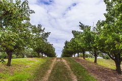 Organic red and sweet Ripening cherries on cherry trees in orchard in early summer. Hungary stock image
