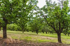 Organic red and sweet Ripening cherries on cherry trees in orchard in early summer. Hungary royalty free stock images