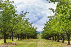 Organic red and sweet Ripening cherries on cherry trees in orchard in early summer. Hungary stock photography