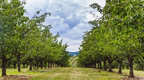 Organic red and sweet Ripening cherries on cherry trees in orchard in early summer. Hungary royalty free stock photos