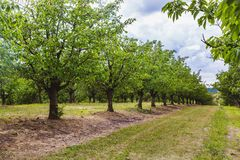 Organic red and sweet Ripening cherries on cherry trees in orchard in early summer. Hungary royalty free stock photo