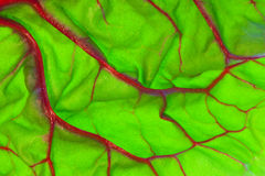 Organic Red Swiss Chard Leaf Detail. Detail view of a red Swiss chard leaf (beta vulgaris Stock Image