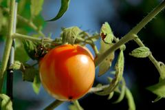 Organic Red Tomato on the Vine Stock Photography