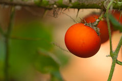 Organic  red tomatoes. On the plant in greenhouse Royalty Free Stock Photos