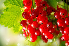 Organic Redcurrant Growing. Redcurrant. Ripe and Fresh Organic Red Currant Berries Growing Stock Photo
