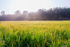 Organic Rice Field With Dew Drops Stock Images