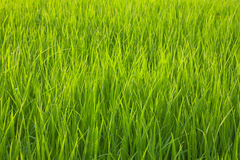 Organic rice field with dew drops Stock Photos