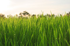 Organic rice field with dew drops Royalty Free Stock Photo