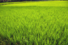 Rice field. Organic rice field in Madagascar Stock Photo