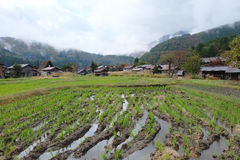 Organic rice field in the shirakawago village area Royalty Free Stock Photo