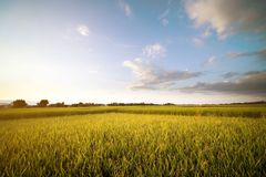Organic Rice filled and blue sky background in Thailand