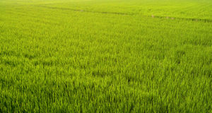 Organic rice paddy field in Taiwan with warm evening light on the plants Royalty Free Stock Image