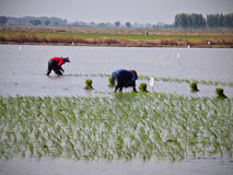 Organic rice planting in Thailand royalty free stock images