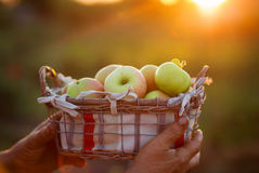 Organic Ripe Apples in a Basket Stock Photography