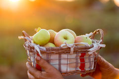 Organic Ripe Apples in a Basket Stock Photos