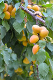 Organic ripe apricots on branch Royalty Free Stock Photos
