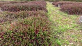 Organic ripe cranberry plantation stock video