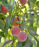Organic Ripe peaches  on branch Stock Photos