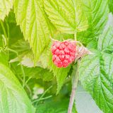 Organic ripe raspberry growing on tree in Washington, USA. Close-up organic ripe raspberry growing on tree in Washington, USA.  Juicy raspberries ready to Royalty Free Stock Photography