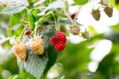 Organic ripe red raspberries on the bush. Royalty Free Stock Photos