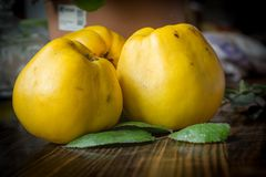 Organic Ripe yellow quince fruit on wooden table. Organic Ripe yellow quince t on wooden table. Close up shot Stock Photography