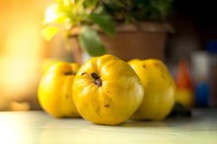 Organic Ripe yellow quince fruit on wooden table. Organic Ripe yellow quince t on wooden table. Close up shot Royalty Free Stock Photo