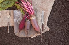 Organic root vegetables beet, lying on the spade and coarse cloth served the village. Autumn harvest. Copy the place. The horizontal frame Royalty Free Stock Image