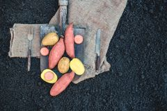 Organic root vegetables and a simple sweet potato lying on the spade and coarse cloth served the village. Autumn harvest. Copy the. Place. The horizontal frame Stock Photo