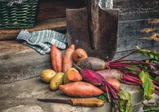 Organic root vegetables and a simple sweet potato lying on the spade and coarse cloth served the village. Autumn harvest. Copy the. Place. The horizontal frame Royalty Free Stock Photography