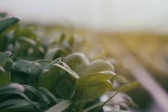 Organic Rucola. Growing organic rucola in a greenhouse Royalty Free Stock Photography