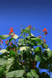 Organic Runner Beans. In flower set against a clear blue sky background Stock Photos