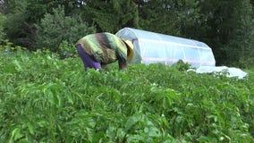 Organic rural farming. Gardener woman pick parasite animals from plant. 4K stock video footage