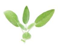 Organic sage Stock Images