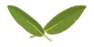 Organic sage leaves on a white background. Top view of two organic sage leaves isolated on a white background stock photos