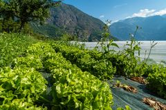 Organic salad crops in France. Organic salad crops in the mountains of France Royalty Free Stock Image