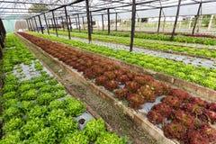Organic salad field Stock Image