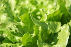 Organic salad leaf. Fresh organic salad leaf in the farm Royalty Free Stock Images