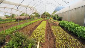 Organic salad vegetable production in poly tunnels in antigua guatemala
