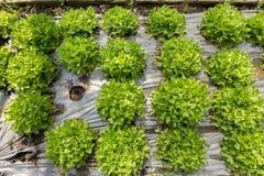 Organic salads Royalty Free Stock Images